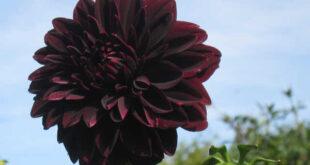 Ντάλια κόκκινο σκούρο λουλούδι