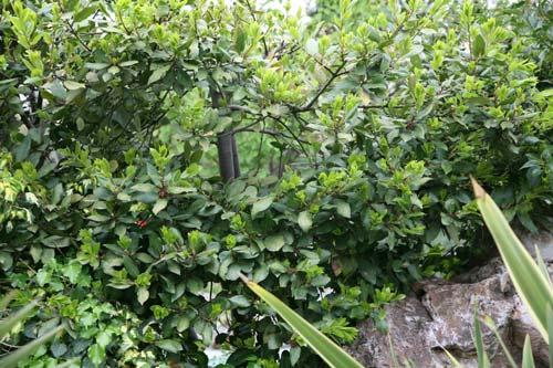 Δάφνη Απόλλωνος - Laurus nobilis, Lauraceae
