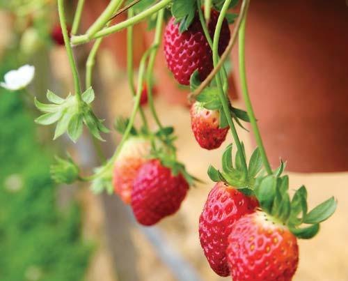 Φράουλες σε κρεμαστα καλάθια στο μπαλκόνι