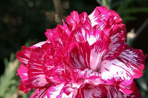Γαρίφαλο - Dianthus caryophyllus