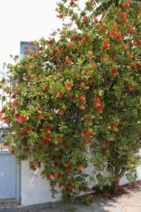 Καλλιστήμονας: φυτό με ιδιαίτερα λουλούδια