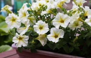 Φυτά & Λουλούδια για Κρεμαστά καλάθια στο μπαλκόνι