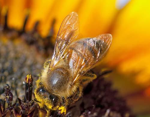 Μέλισσες και η οργάνωση του μελισσιού