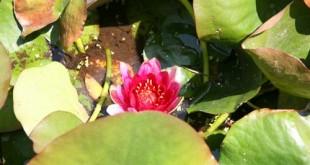 νούφαρα Nymphaea sp., Nymphaeaceae