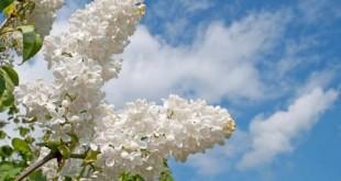 Πασχαλιά - Syringa vulgaris, Oleaceae
