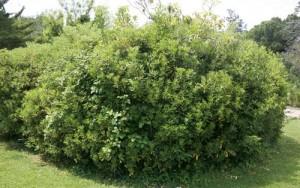Αγγελική - Pittosporum tobira , Pittosporaceae
