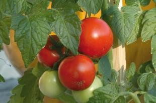 Λαχανόκηπος: ντομάτες, αγγουράκια, πιπεριές