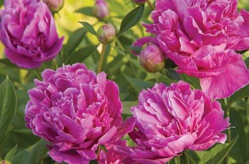 Παιώνια - Paeonia chinensis, Ranunculaceae