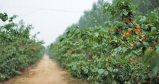 Καλλιέργεια βερικοκιάς