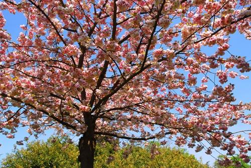 Ανθισμένο δένδρο κερασιάς την Άνοιξη.