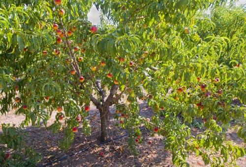 Δένδρο ροδακινιάς την περίοδο της καρποφορίας