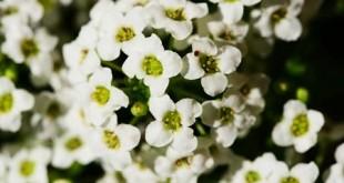 Άλυσσος - Alyssum maritimum