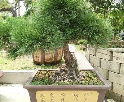 Τι φυτό να επιλέξω για να φτιάξω bonsai;