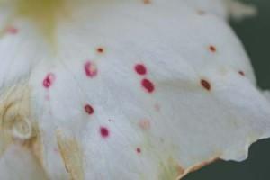 """Κηλίδες """"φάντασμα"""" σε τριαντάφυλλο"""