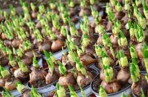 Φροντίδες για φύτευση βολβών στον κήπο
