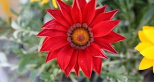 Γκαζάνια (Gazania rigens ή splendens, Asteraceae)