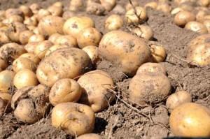 patata-10-bimata