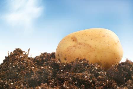 Γνωριμία με την καλλιέργεια της πατάτας