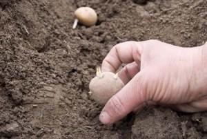 Πότε φυτεύουμε πατάτα