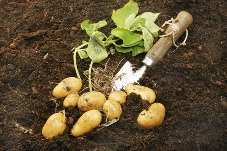 Ποιές είναι οι πιο γνωστές ποικιλίες πατάτας