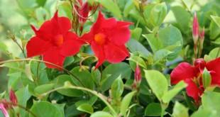 Διπλαδένια, Dipladenia splendens