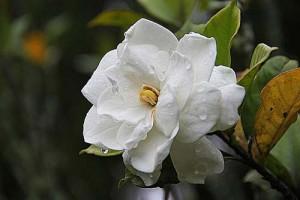 γαρδένια, gardenia jasminoides