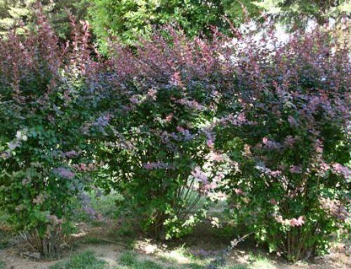 Βερβερίδα, με τα σκουροκόκκινα φύλλα της