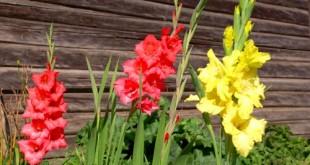 Γλαδίολοι σε παρτέρι στον κήπο