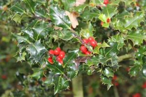 Ίλεξ ή αρκουδοπούρναρο (Ilex aguifolium, Aquifoliaceae)