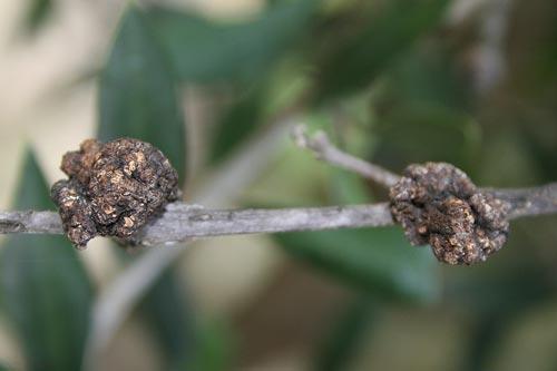 καρκίνωση ή φυματίωση της ελιάς
