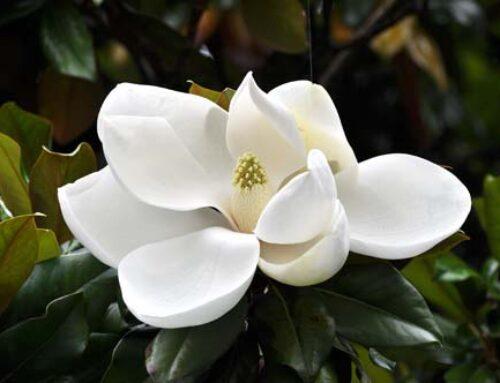 Οι εντυπωσιακές Μαγνόλιες (Magnolia sp.)