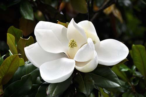 Ανοιχτό λουλούδι της Magnolia garndiflora