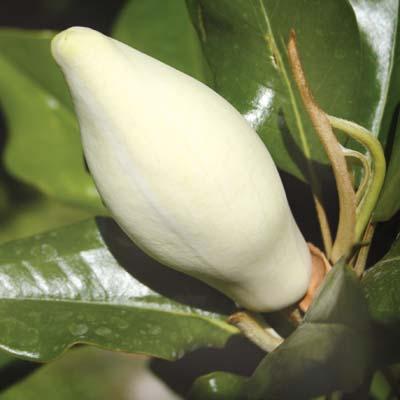 Κλειστό λουλούδι της Magnolia grandiflora