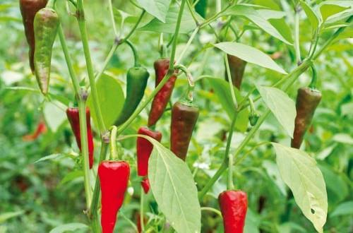 Φυτέψτε πιπεριές στον κήπο ή τη βεράντα