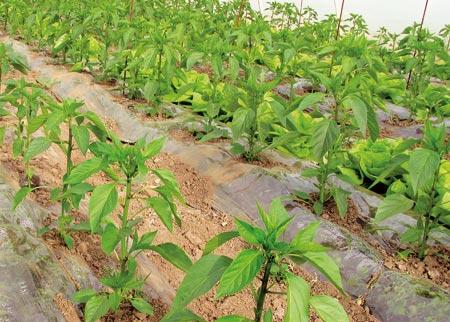 Καλλιέργεια πιπεριάς