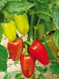 Καρποί πιπεριάς