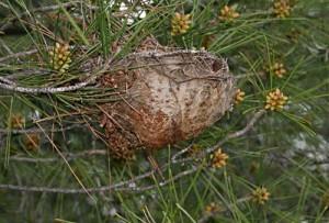 πιτυοκάμπη, η κάμπια των πεύκων