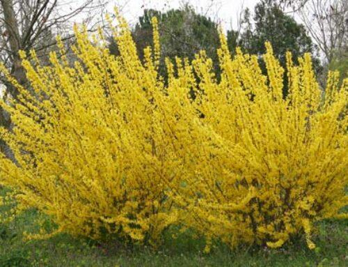 Φορσύθια, για κίτρινο χρώμα στον κήπο την άνοιξη
