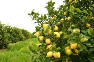 Λεμονιά με καρπούς
