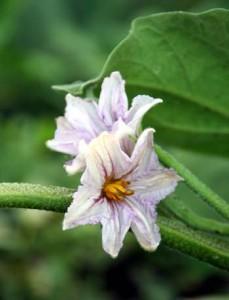 Άνθη μελιτζάνας