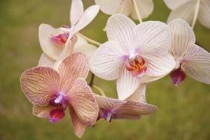 Άνθη ορχιδέας Phalaenopsis