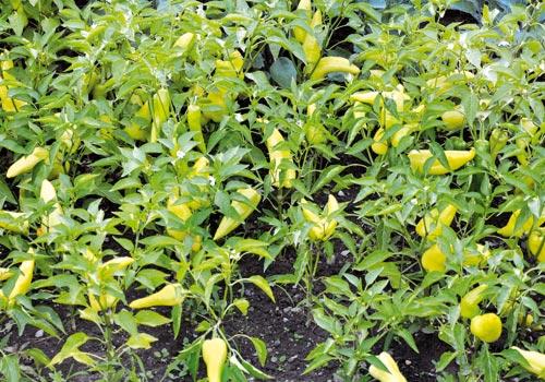 Πράσινη πιπεριά κέρατο