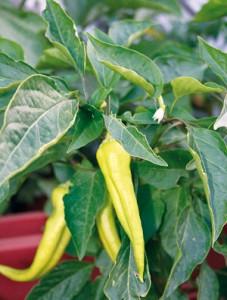 πράσινες πιπεριές κέρατο