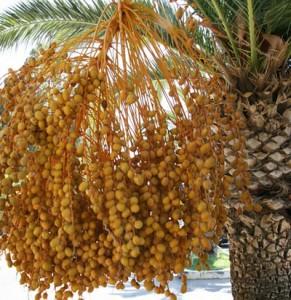 Φοίνικας, Phoenix sp. Palmaceae