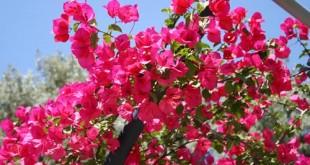 Βουκανβίλλια, για χρωματιστές πέργολες