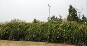 γυμνανθές γιασεμί