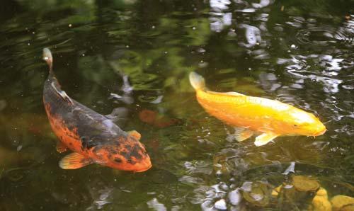Λίμνη με ψάρια στον κήπο