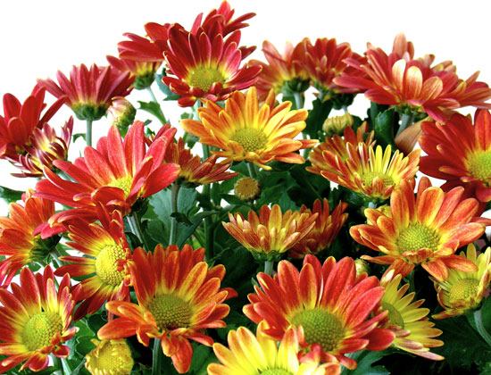 chrysanthemum-4