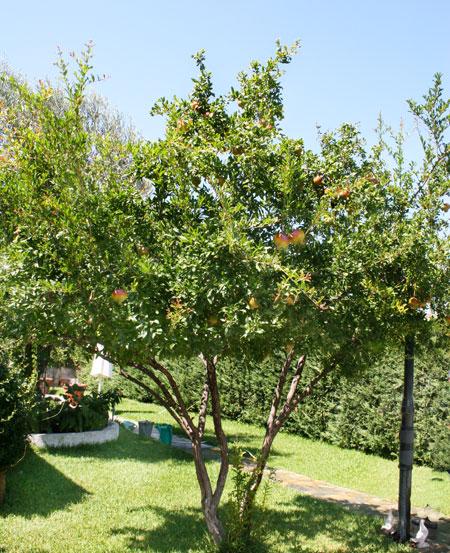 Ροδιά στον κήπο