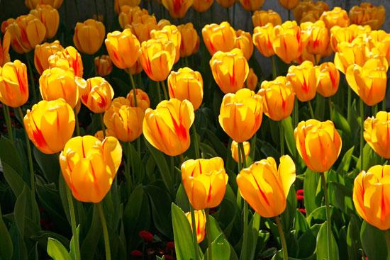 tulipa-1
